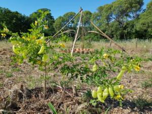 Un arbuste étonnant couvert de fruits qui ressemblent à des haricots légèrement translucides ayant été gonflés