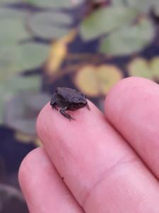 Une minuscule grenouille toute noire, de la taille d'un ongle
