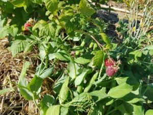 Un buisson dense qui laisse entrevoir trois framboises rosées, presque mûres