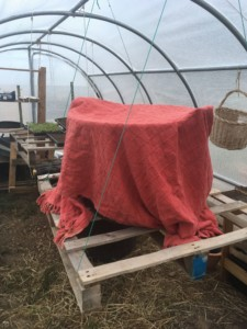Une grande boite couverte d'une couverture rouge à l'intérieur de la serre. C'est la maison des poussins.