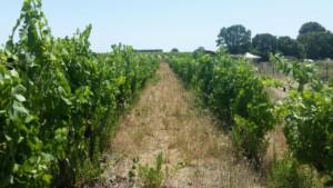 Allée entre deux rangées de vignes impeccablement palissées