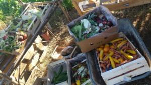 Nombreuses cagettes pleines de légumes issus du glanage