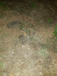 Deux hérissons au milieu des herbes sèches