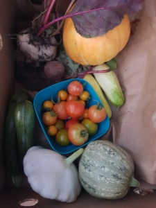 Récolte de légumes du potager : tomates, courgettes, concombres, pâtisson, butternut et betteraves