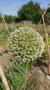 Inflorescence de poireau, une boule constituée de dizaines de minuscules fleurs blanches