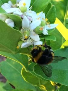Abeille en gros plan butinant des fleurs d'agrumes blanches