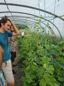 Germain admire des pieds de tomate dans une serre