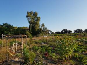 Vue d'ensemble du jardin n°1 avec ses planches verdoyantes et ses tournesols d'un jaune profond.