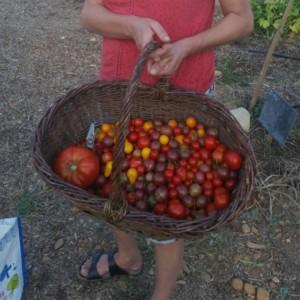 Panier plein de tomates de toutes tailles et couleurs.
