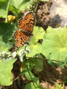 Papillon ocre et noir posé sur une fleur blanche et vu du dessus.