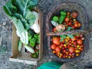 Une cagette et un panier de légumes fraîchement récoltés. Blettes, poivrons, piments, courges, tomates.
