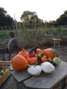Tas de légumes sur une table. Potirons, pâtissons, tomates et aubergines.