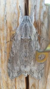 Papillon gris camouflé sur du bois d'une couleur très proche