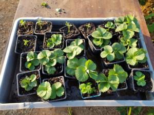 Vingtaine de godets occupés par des plants de fraisier.