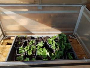 Plants de fraisiers abrités dans un caisson