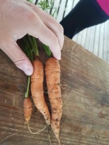 Une main posée sur trois carottes bien oranges.