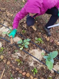 Personne en anorak violet en train de planter des gousses d'ail à l'aide du plantoir