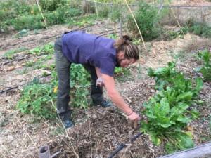 Personne en train de planter des gousses d'ail